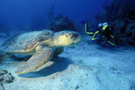 Anse Chastanet - Dive with sea turtle